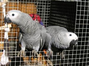 Animais/Papagaios Cinzentos