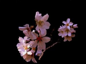 Macro/flores de amendoeira