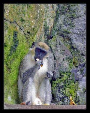 /117 - Macaco Vervet