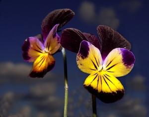 /Viola Tricolor
