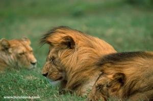 Animais/Leões-Tanzânia