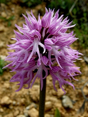 Macro/flores da serra
