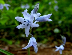 Macro/Campainhas azuis