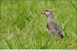 /Vanellus chilensis (Quero-quero)