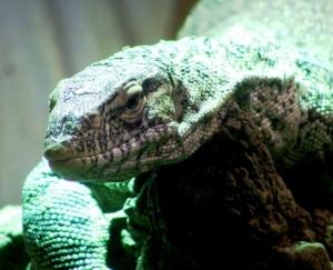 Animais/lagarto lagarto