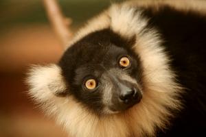 Animais/Lemur