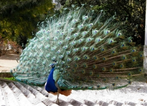 Animais/dança do pavão