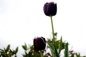 Macro/tulipas negras