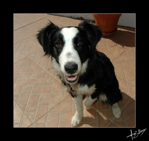 Animais/Border Collie