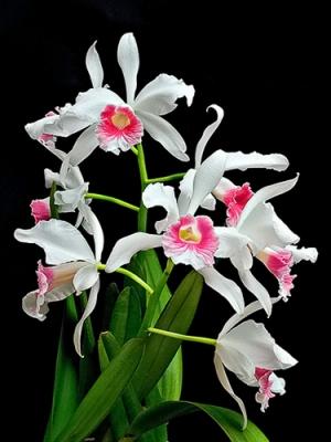 Outros/Orquídeas brancas