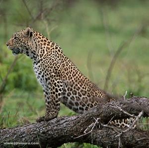 Animais/Leopardo- África do SulIII