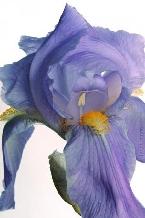 /azul, campestre (?)