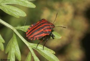 Macro/PERCEVEJO (Graphosoma italicum)