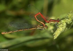 Macro/LIBELINHA (Pyrrhosoma nymphula) ?