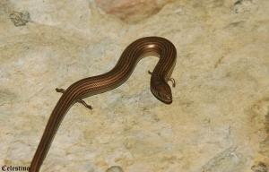Animais/Cobra de pernas tridáctila (Chalcides striatus)