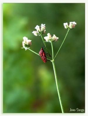 /escaravelho do azar