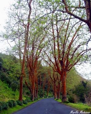 Paisagem Natural/Árvores de Ferro