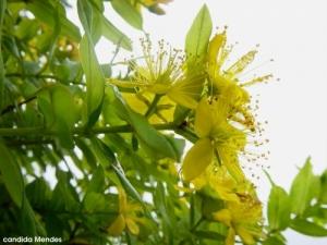 Outros/Hypericum foliosum