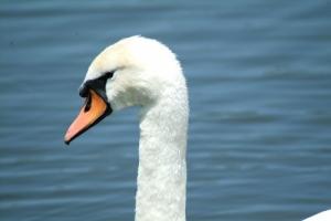 Outros/cisne