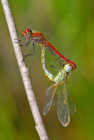 /Sympetrum fonscolombii