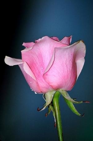 Macro/outra rosa que te dou...