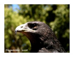 Animais/Falcão