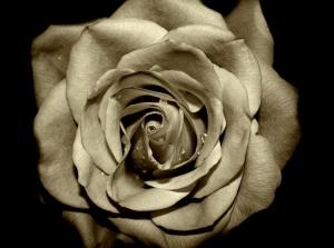/Rose