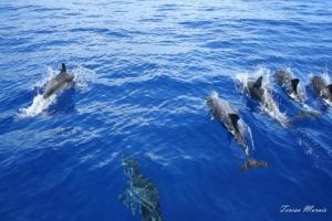 Animais/Golfinhos pintados