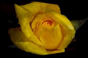 Macro/Rose