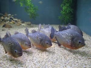 Animais/Piranhas... a caminho de uma reunião de familia...
