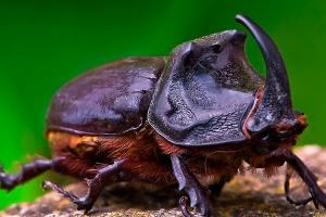 Macro/Escaravelho Rinoceronte