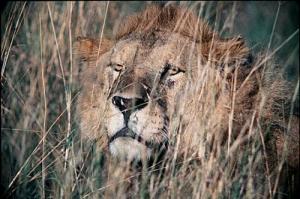 /Leão na espreita, Masai Mara, Quênia
