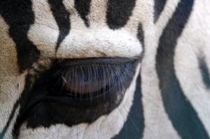 /Ôlho de Zebra