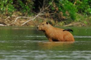 /Capibara