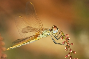 Outros/Sympetrum fonscolombii ??