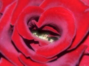 Macro/Rosed Heart