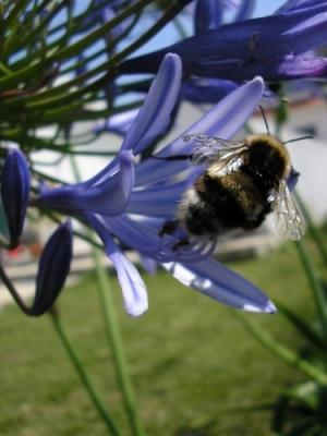 /Flying bee