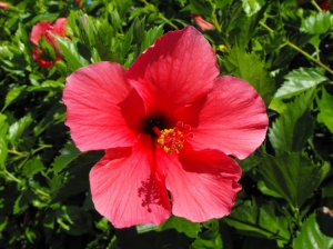 Outros/Red Hibiscus