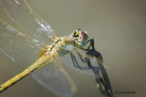 Animais/Dragon Fly