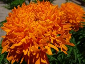 Macro/Flor, Cravo-de-defunto