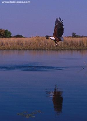 /Águia pesqueiraII-Botswana