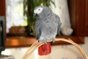 Animais/Papagaio Cinzento do Congo