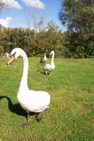 Animais/cisne fora do lago