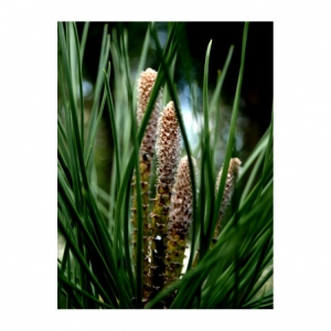 Macro/flor de verde pinho