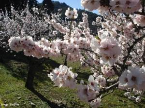 Outros/Amendoeiras em flor