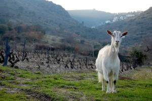 Animais/A Cabra Expectante
