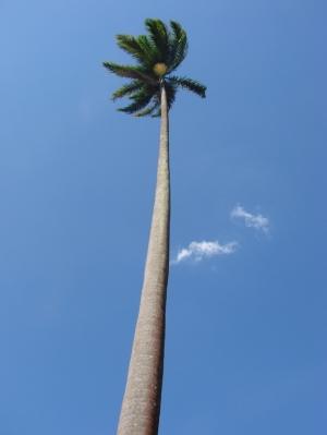 Paisagem Natural/Palmeira Imperial