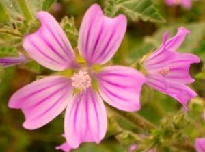 Macro/Flores do Campo II