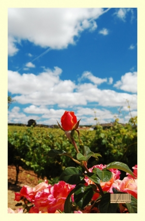 Paisagem Natural/Red rose