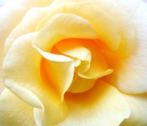 /Uma simples Rosa Amarela!